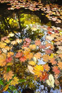 池に浮かぶ落ち葉の写真素材 [FYI00328119]