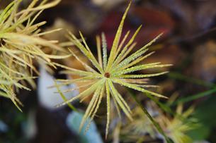 朝露の針葉樹の幼木の写真素材 [FYI00328120]