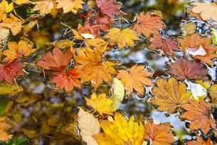 水面の落ち葉の写真素材 [FYI00328127]