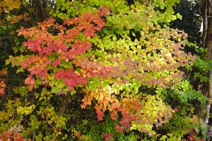 木漏れ日の中の紅葉の写真素材 [FYI00328132]