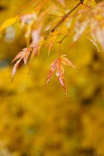 雨上がりのモミジの葉の写真素材 [FYI00328135]