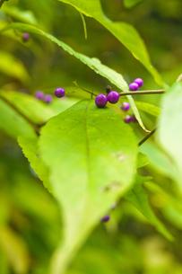 ムラサキシキブの葉と実の写真素材 [FYI00328136]