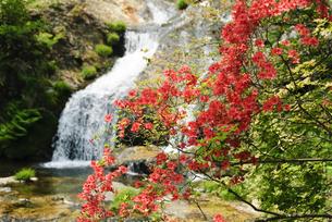 玉簾の滝に咲く山ツツジの写真素材 [FYI00328139]
