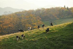 牧場の朝の光の写真素材 [FYI00328140]