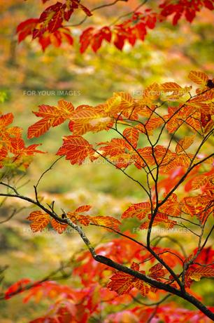 紅葉した葉の素材 [FYI00328146]