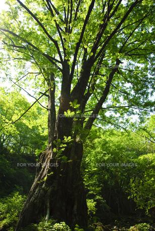 渓谷の大木の素材 [FYI00328147]
