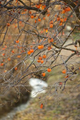 小川の柿の木の写真素材 [FYI00328152]