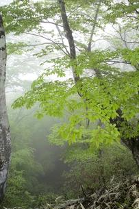 霧に包まれた新緑の森の写真素材 [FYI00328155]