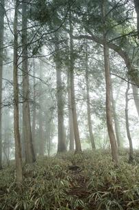 霧の檜林の山道の写真素材 [FYI00328158]
