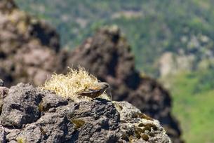 高山のイワヒバリの写真素材 [FYI00328160]