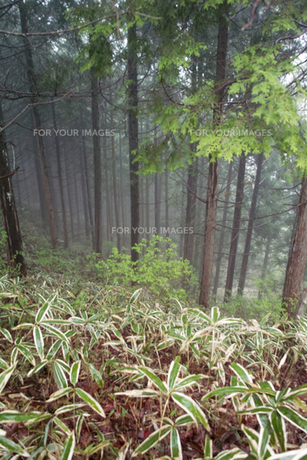 霧のヒノキ林とミヤコザサの素材 [FYI00328163]