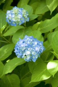 木陰の紫陽花の写真素材 [FYI00328183]