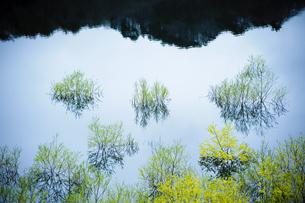湖面から出た新緑の木の写真素材 [FYI00328186]