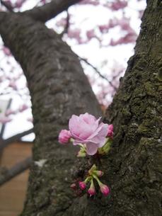 幹から花咲く八重桜の写真素材 [FYI00328189]