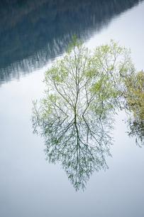湖面から出た新緑の木の写真素材 [FYI00328190]