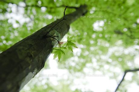 カエデの幹からの若葉の写真素材 [FYI00328202]