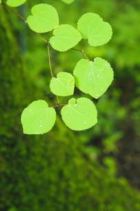 雨上がりのカツラの葉の素材 [FYI00328233]