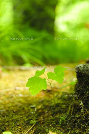 三つ葉の新芽の写真素材 [FYI00328241]
