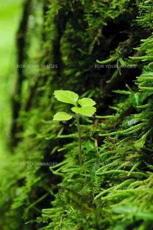 森からの新芽の写真素材 [FYI00328249]