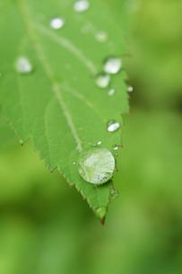 若葉の上の水滴の写真素材 [FYI00328250]