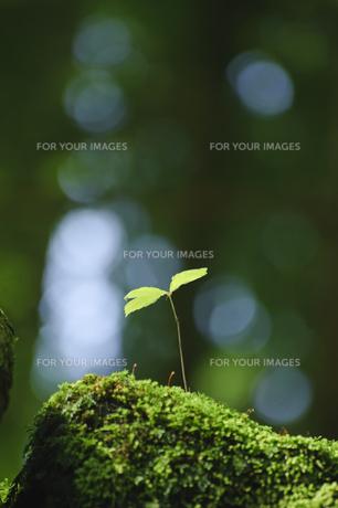 陽射しに育つ新芽の写真素材 [FYI00328265]