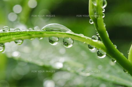 雨上がりの水玉の写真素材 [FYI00328271]
