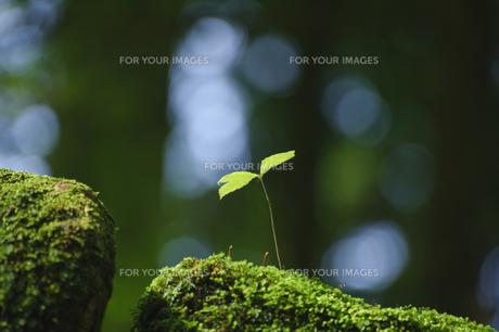陽射しを受ける木の芽の写真素材 [FYI00328282]