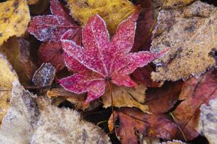 紅葉落ち葉におりた朝霜の写真素材 [FYI00328352]