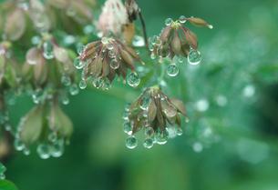 雨上がりの輝く水玉の写真素材 [FYI00328420]