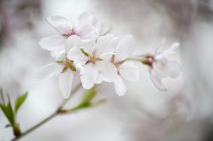 枝先の桜花びらの写真素材 [FYI00328495]