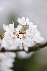 満開の桜花びらの写真素材 [FYI00328496]
