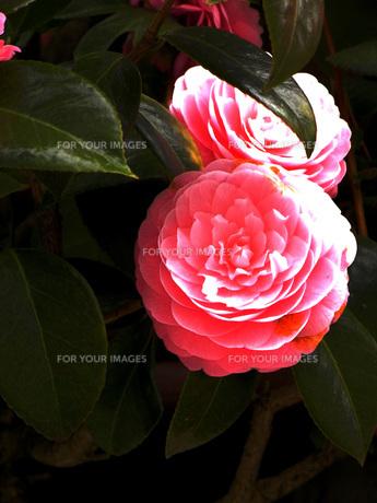 花の写真素材 [FYI00328523]