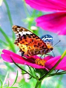 蝶の素材 [FYI00328557]