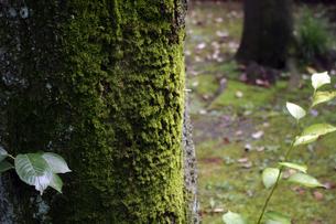 木に付いた苔の写真素材 [FYI00328632]