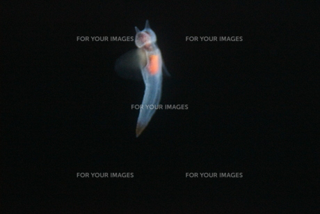 クリオネの写真素材 [FYI00328719]