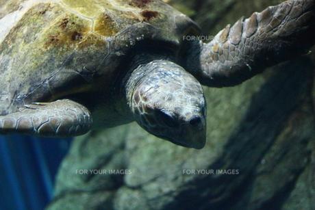 ウミガメの写真素材 [FYI00328740]