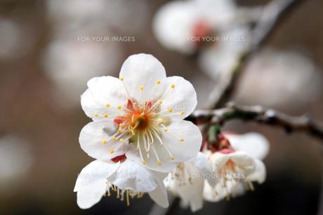 ひな祭りの日の白梅の写真素材 [FYI00328921]