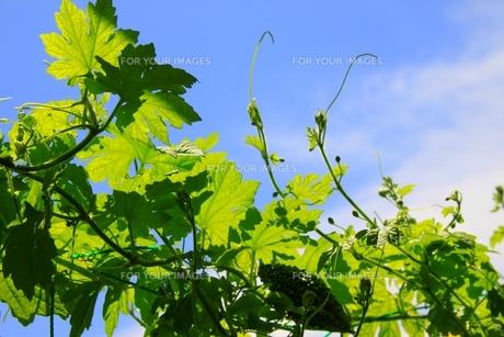 盛夏のゴーヤと青空の写真素材 [FYI00328922]