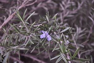 ローズマリーの花の写真素材 [FYI00328977]