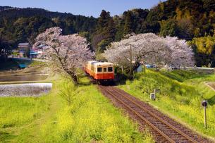 桜と菜の花を行く気動車の写真素材 [FYI00329266]