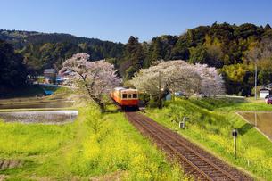 桜と菜の花を行く気動車の写真素材 [FYI00329267]