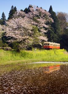 桜と菜の花を行く気動車の写真素材 [FYI00329284]