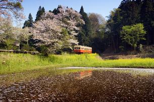 桜と菜の花を行く気動車の写真素材 [FYI00329293]