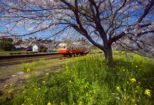 桜と菜の花を行く気動車の写真素材 [FYI00329296]