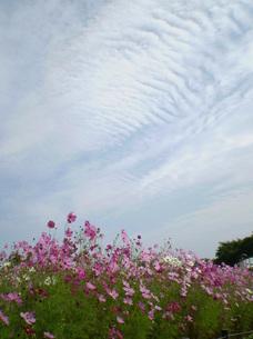空とコスモスの写真素材 [FYI00329418]