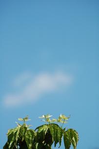 青空とヤマボウシの写真素材 [FYI00329420]