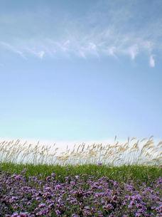 秋風になびくススキと紫の花の写真素材 [FYI00329421]