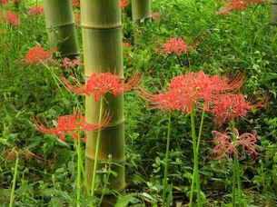 竹林のヒガンバナの写真素材 [FYI00329422]