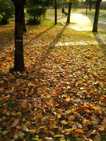 落ち葉一面、西日の公園の素材 [FYI00329451]