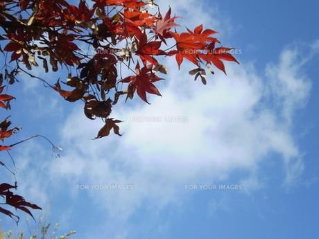 モミジ紅葉と青空の写真素材 [FYI00329466]